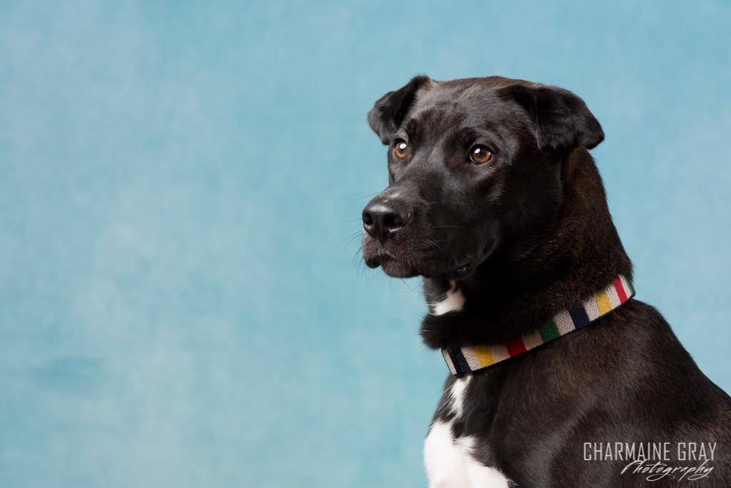 dog, pet portrait, charmaine gray photography, charmaine gray pet photography, animal, pet, puppy