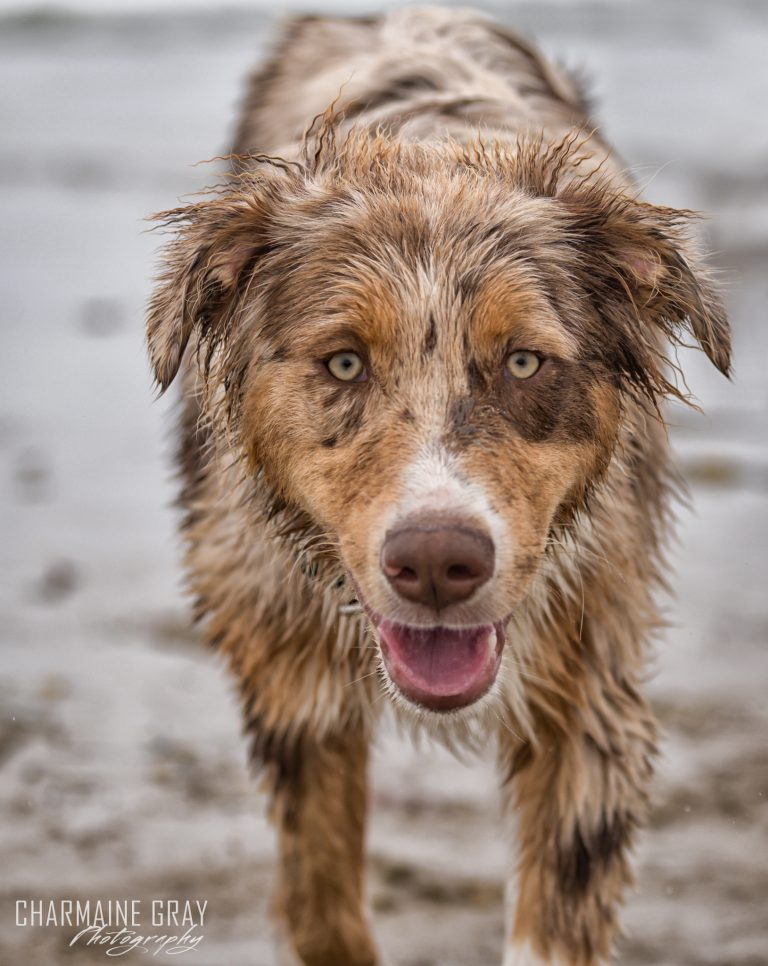 pet photographer, pet photography, pet portrait, pet, animal, charmaine gray photography, charmaine gray pet photography, san diego, australian shepherd