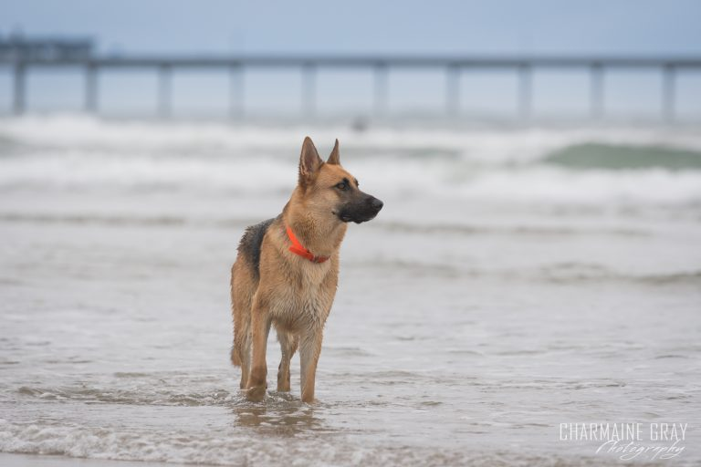 pet photographer, pet photography, pet portrait, pet, animal, charmaine gray photography, charmaine gray pet photography, san diego,german shepherd
