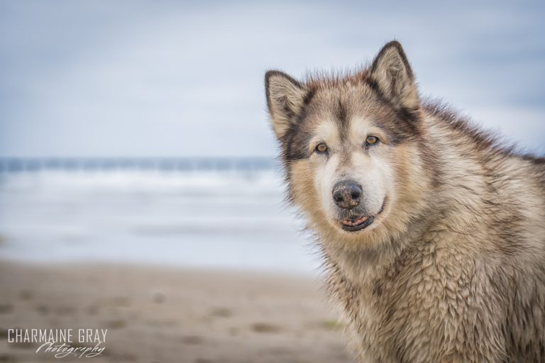 pet photographer, pet photography, pet portrait, pet, animal, charmaine gray photography, charmaine gray pet photography, san diego,malamute
