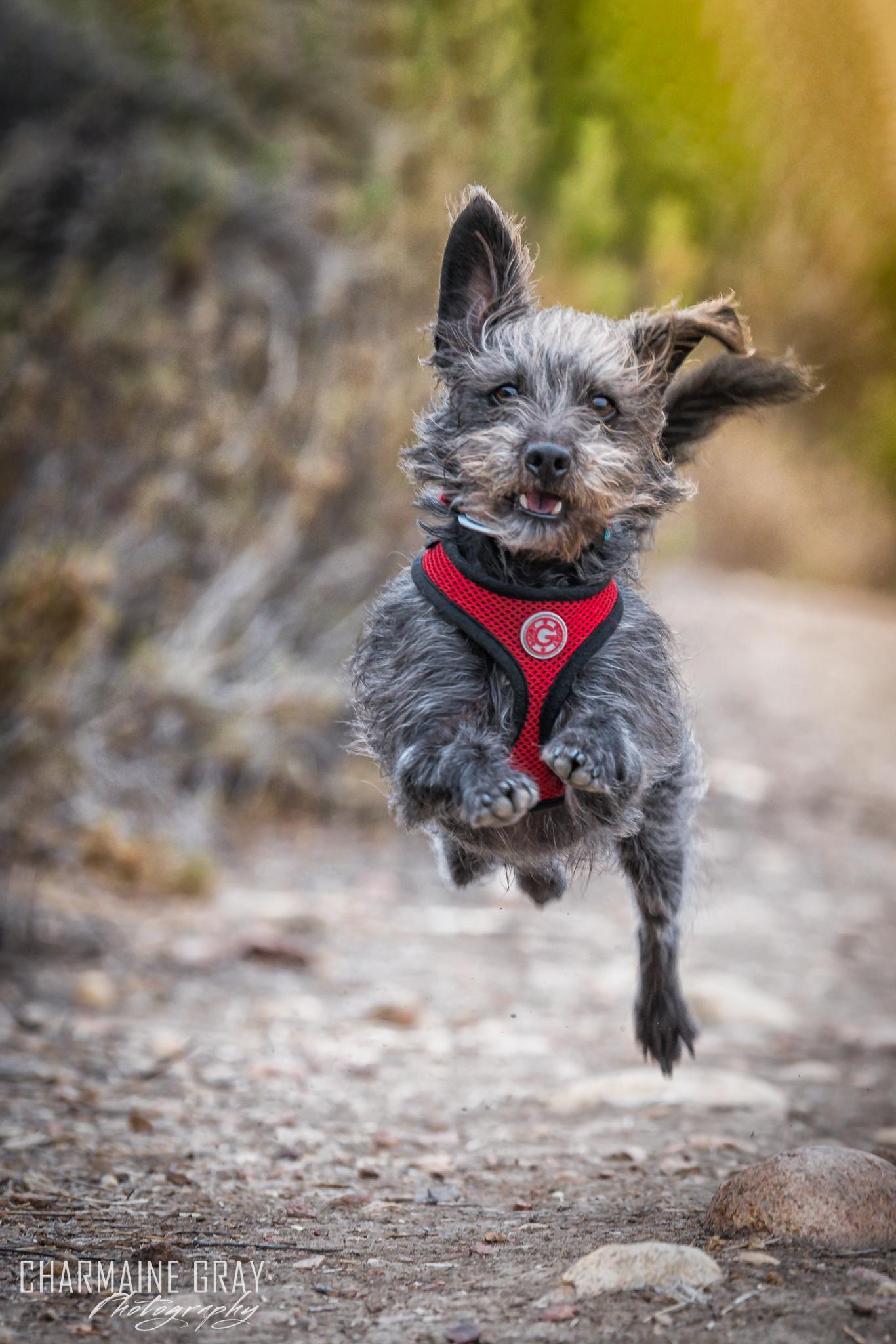 pet photographer, pet photography, pet portrait, pet, animal, charmaine gray photography, charmaine gray pet photography, san diego,terrier