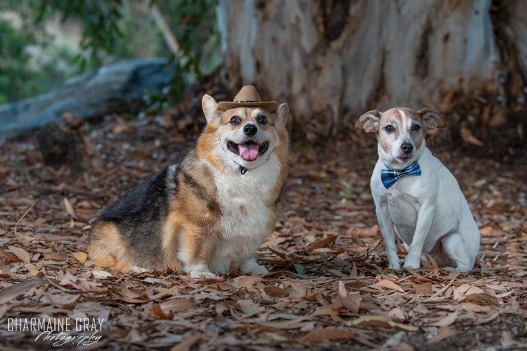 pet photographer, pet photography, pet portrait, pet, animal, charmaine gray photography, charmaine gray pet photography, san diego,jack russel terrier, corgi