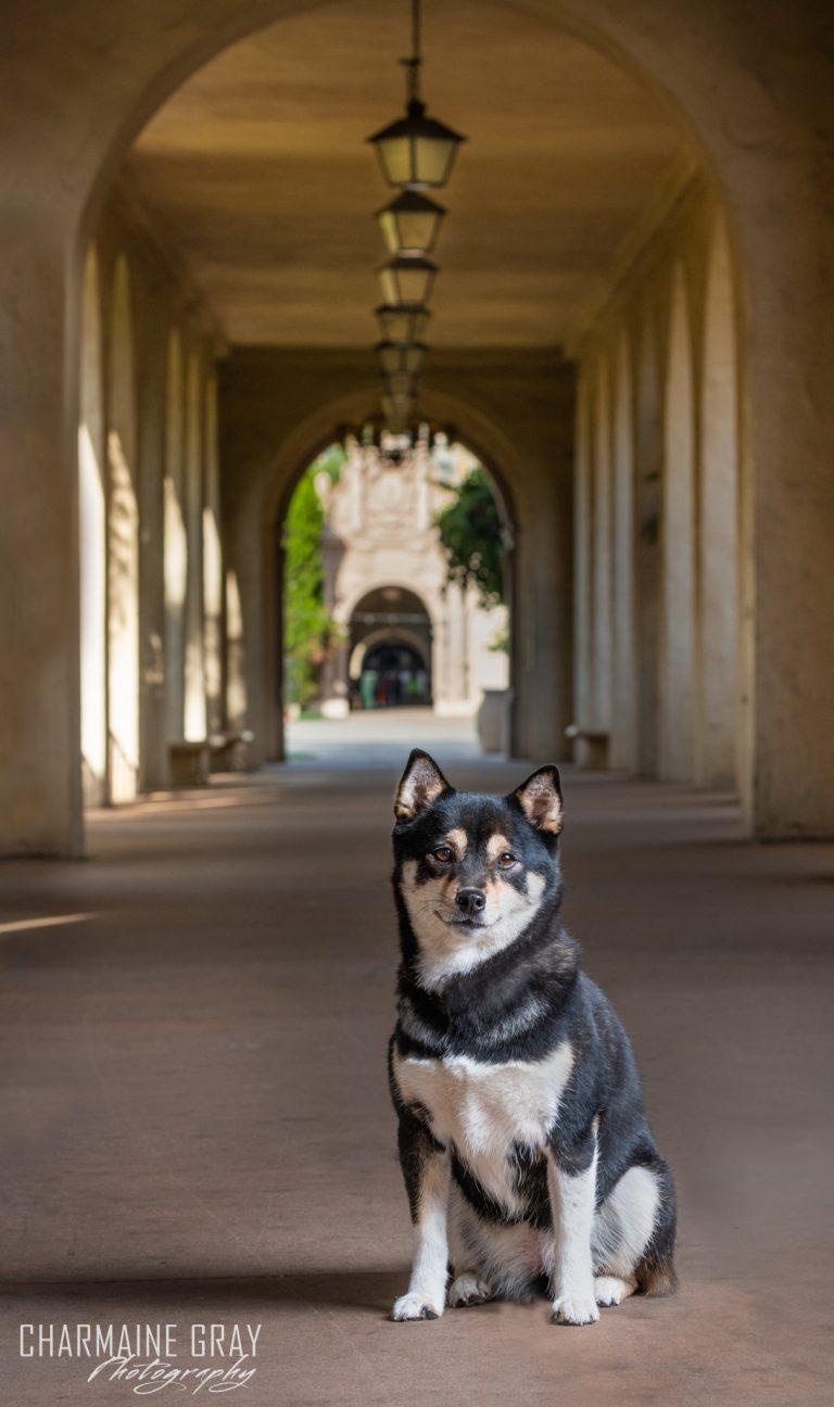 pet photographer, pet photography, pet portrait, pet, animal, charmaine gray photography, charmaine gray pet photography, san diego, shiba inu, balboa park