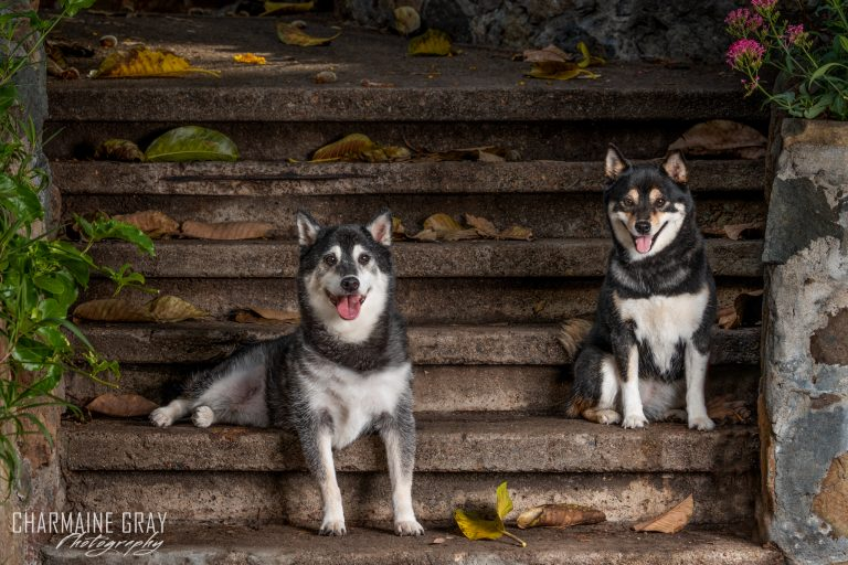 pet photographer, pet photography, pet portrait, pet, animal, charmaine gray photography, charmaine gray pet photography, san diego, shiba inu