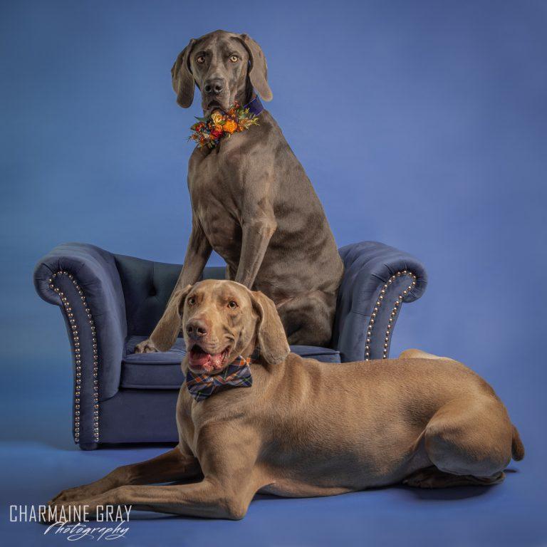 pet photographer, pet photography, pet portrait, pet, animal, charmaine gray photography, charmaine gray pet photography, san diego, weimaraner