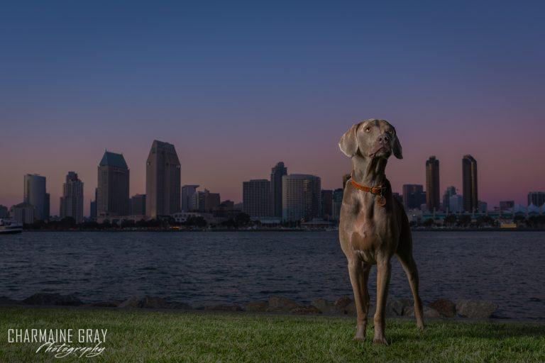 dog, charmaine gray photography, weimaraner,sunset, skyline, san diego, california