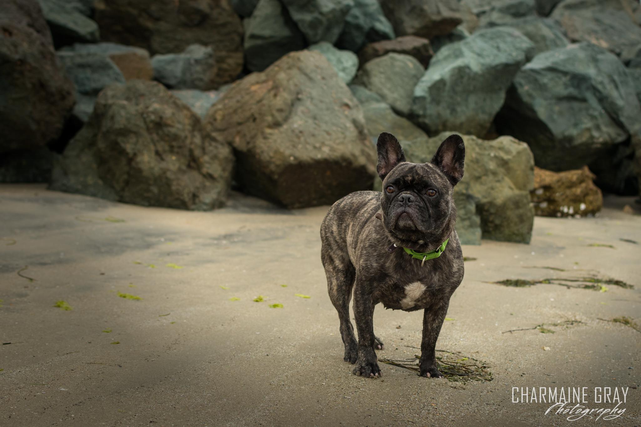 pet photographer, pet photography, pet portrait, pet, animal, charmaine gray photography, charmaine gray pet photography, san diego,frenchie,french bulldog, dog