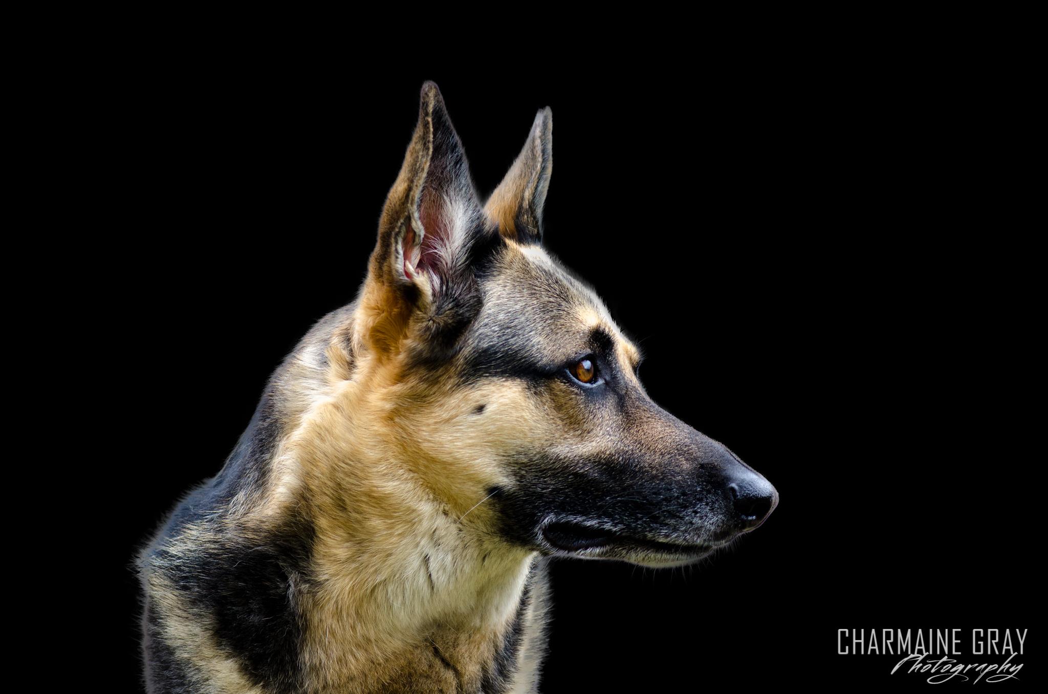 pet photographer, pet photography, pet portrait, pet, animal, charmaine gray photography, charmaine gray pet photography, san diego,german shepherd