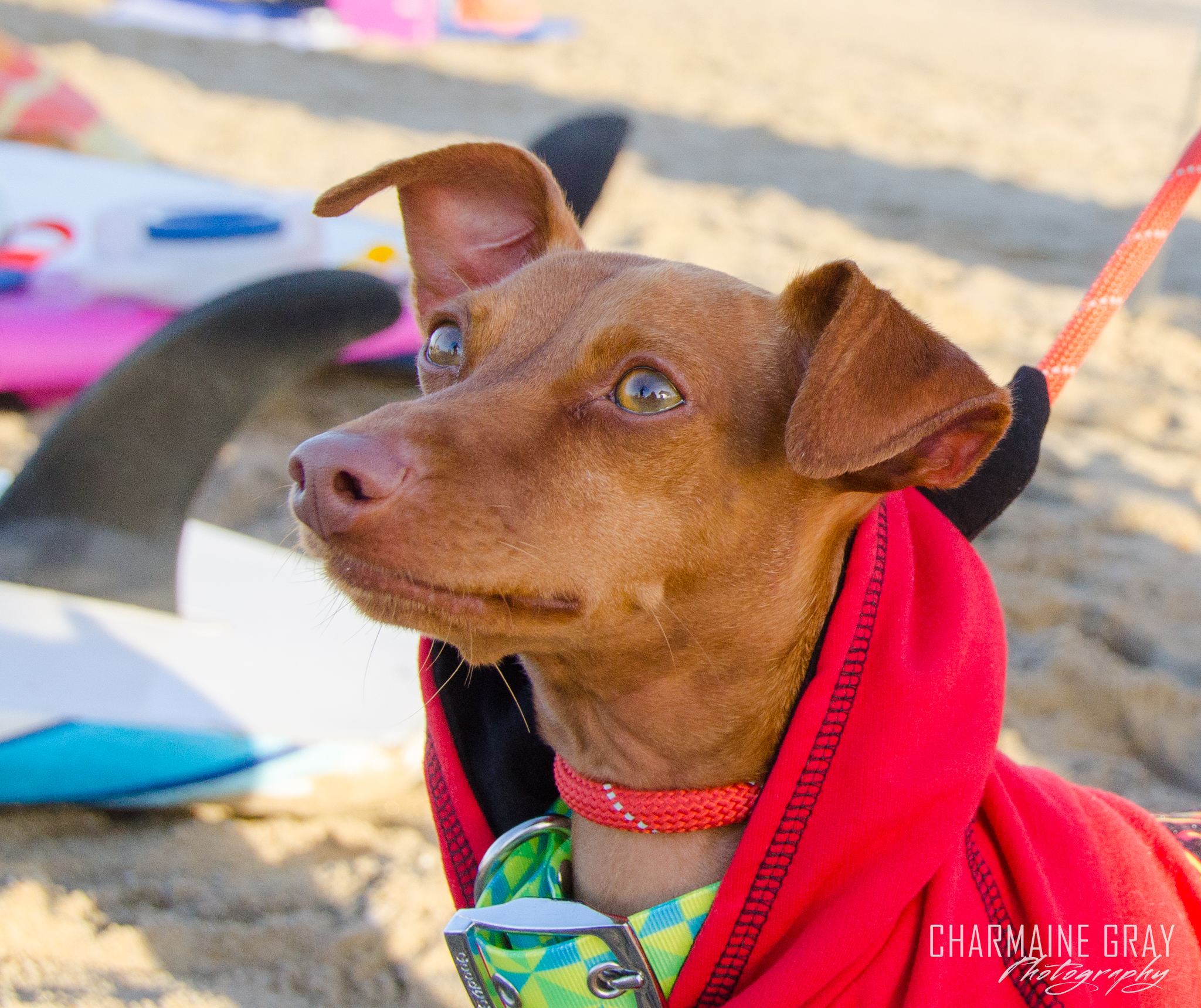 pet photographer, pet photography, pet portrait, pet, animal, charmaine gray photography, charmaine gray pet photography, san diego,dog,canine,california,surf,surfing,miniature pinscher,minpin, rusty the surfing minpin
