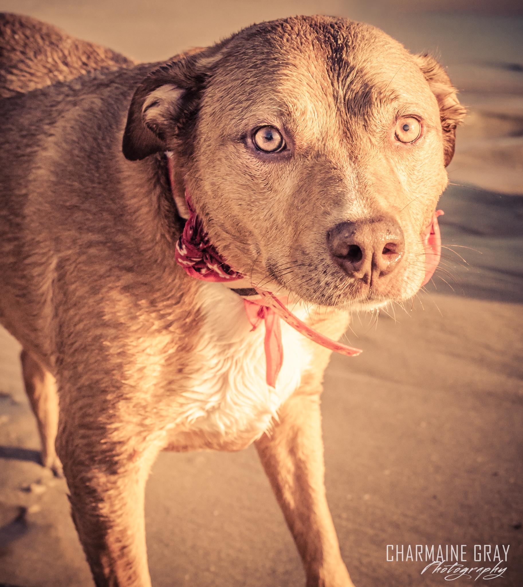pet photographer, pet photography, pet portrait, pet, animal, charmaine gray photography, charmaine gray pet photography, san diego,dog, pittie, pit bull