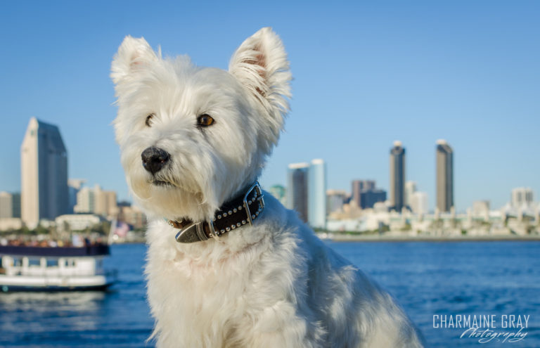 pet photographer, pet photography, pet portrait, pet, animal, charmaine gray photography, charmaine gray pet photography, san diego,westie,west highland terrier