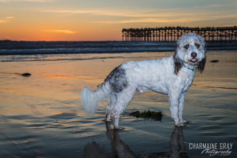 pet photographer, pet photography, pet portrait, pet, animal, charmaine gray photography, charmaine gray pet photography, san diego,dog, bearded collie