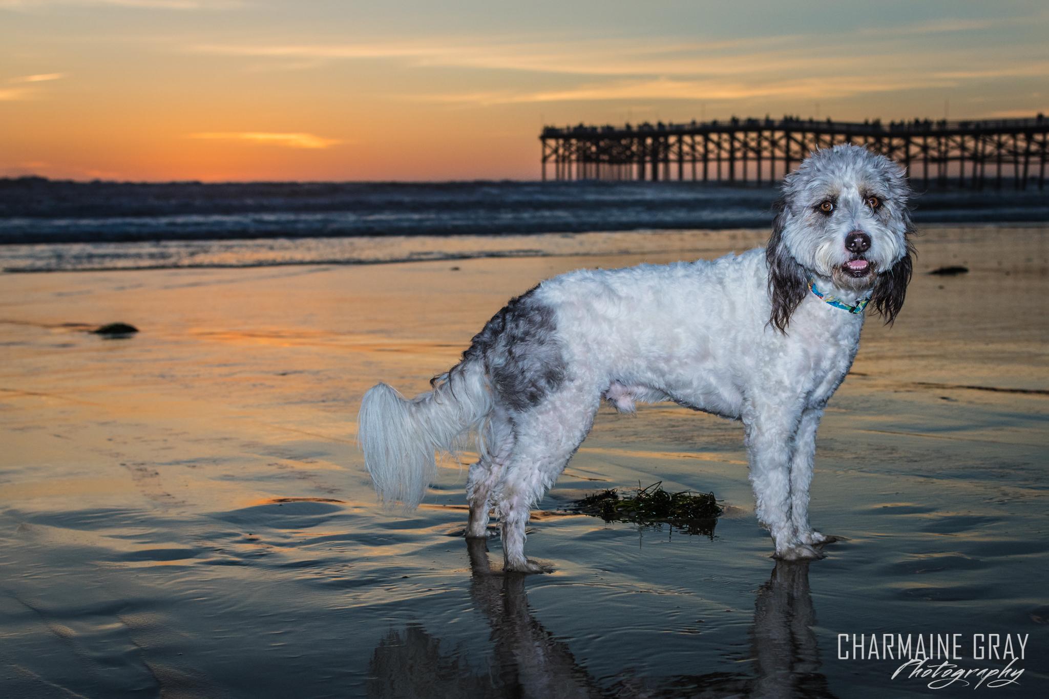 pet photographer, pet photography, pet portrait, pet, animal, charmaine gray photography, charmaine gray pet photography, san diego,dog, bearded collie