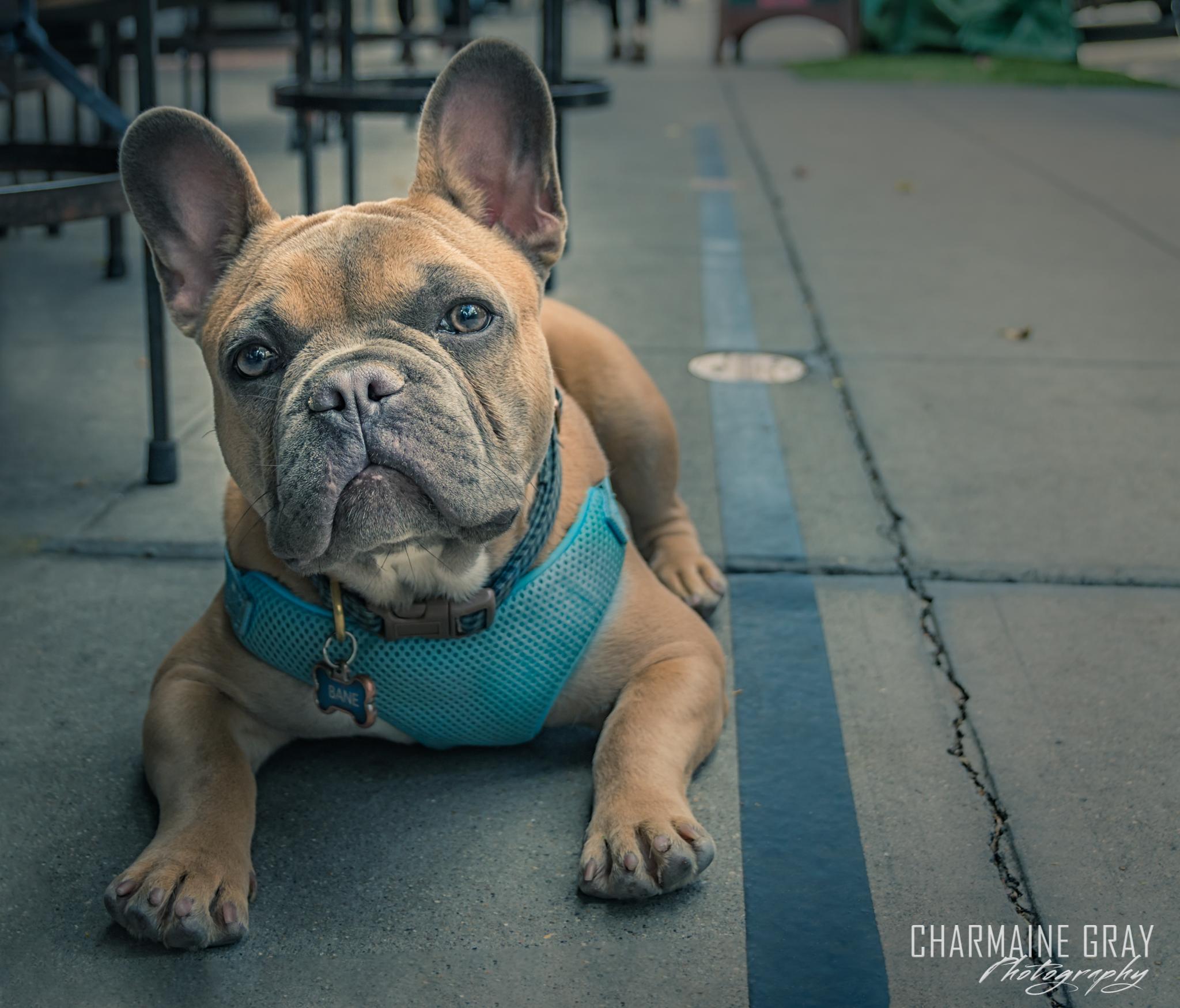 pet photographer, pet photography, pet portrait, pet, animal, charmaine gray photography, charmaine gray pet photography, san diego,dog, french bulldog, frenchie