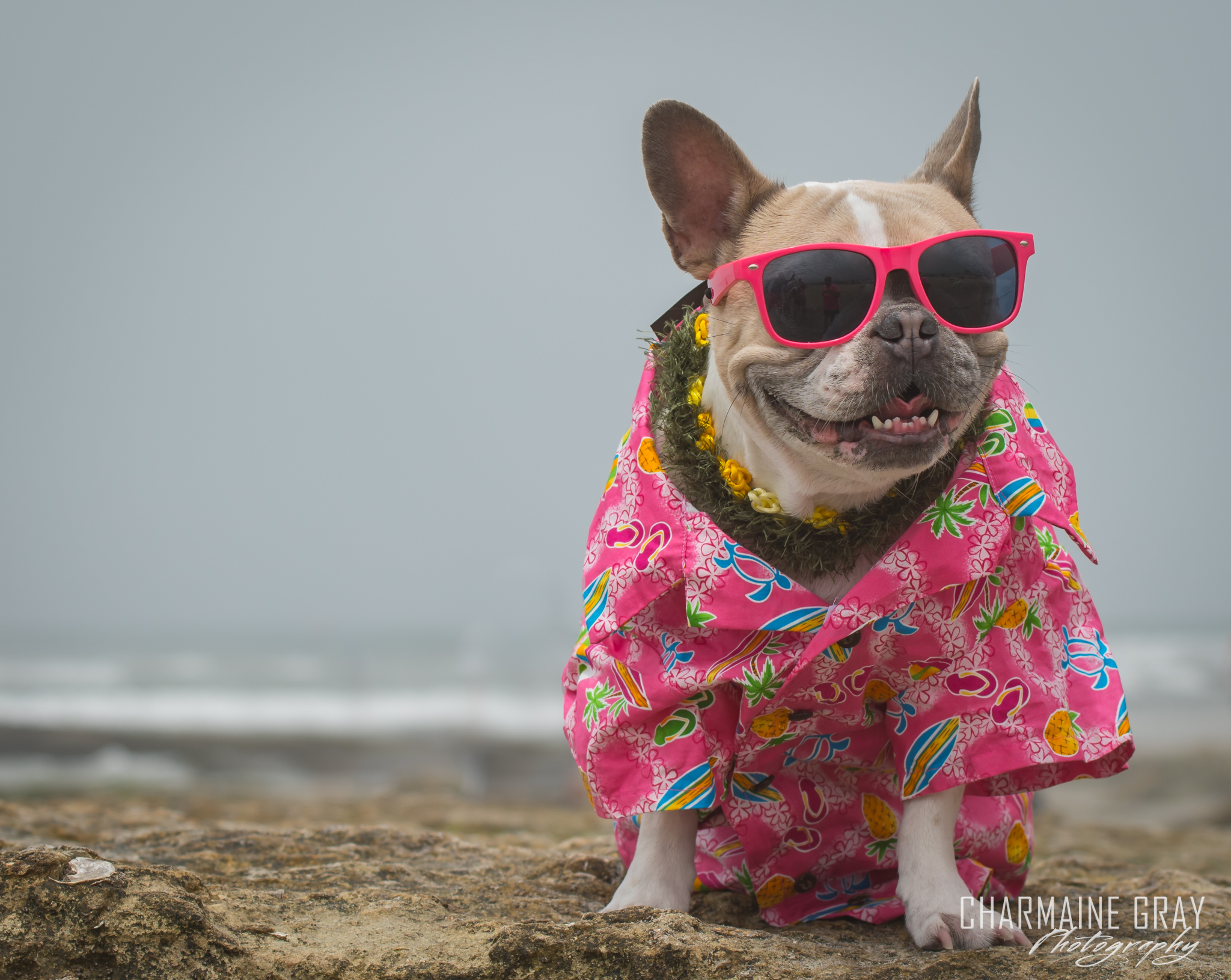 pet photographer, pet photography, pet portrait, pet, animal, charmaine gray photography, charmaine gray pet photography, san diego,dog,canine,california,surf,surfing,frenchie, french bulldog, cherie