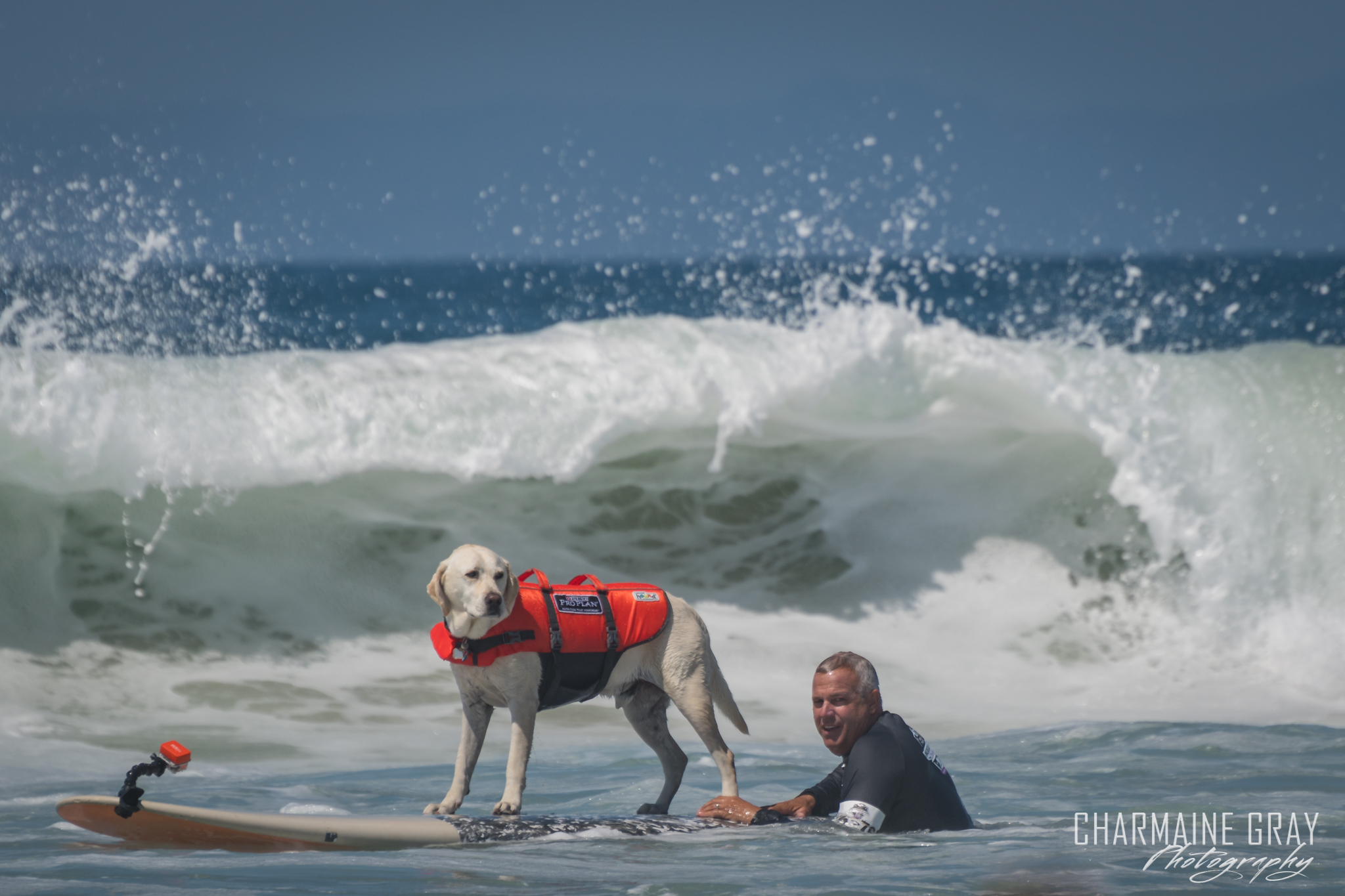 pet photographer, pet photography, pet portrait, pet, animal, charmaine gray photography, charmaine gray pet photography, san diego,dog,canine,california,surf,surfing,yellow lab, labrador retreiver,haole