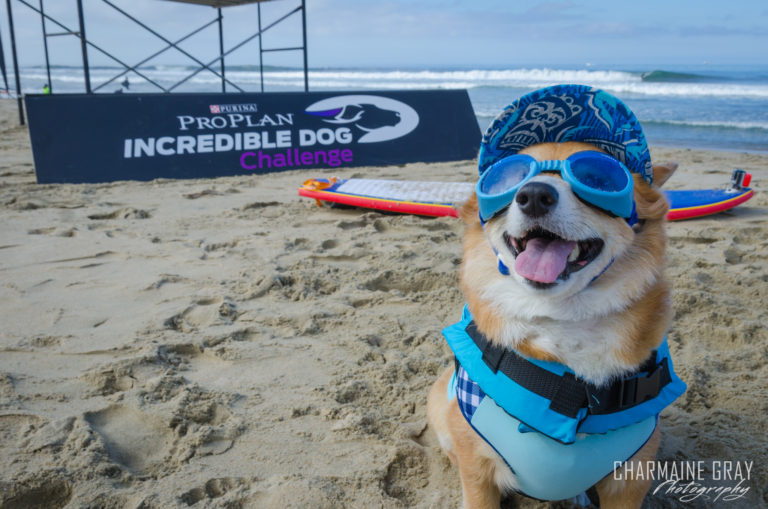 pet photographer, pet photography, pet portrait, pet, animal, charmaine gray photography, charmaine gray pet photography, san diego,dog,canine,california,surf,surfing,corgi, super corgi jojo