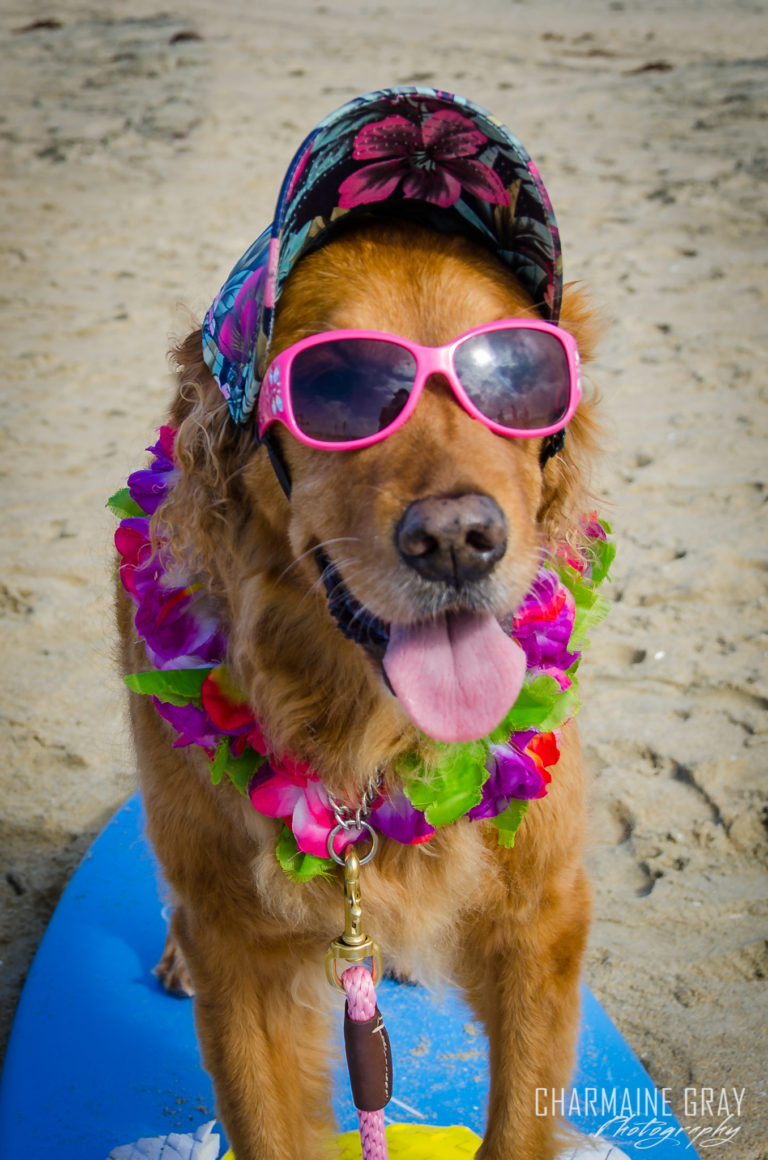 pet photographer, pet photography, pet portrait, pet, animal, charmaine gray photography, charmaine gray pet photography, san diego,dog,canine,california,surf,surfing,golden retreiver, kalani