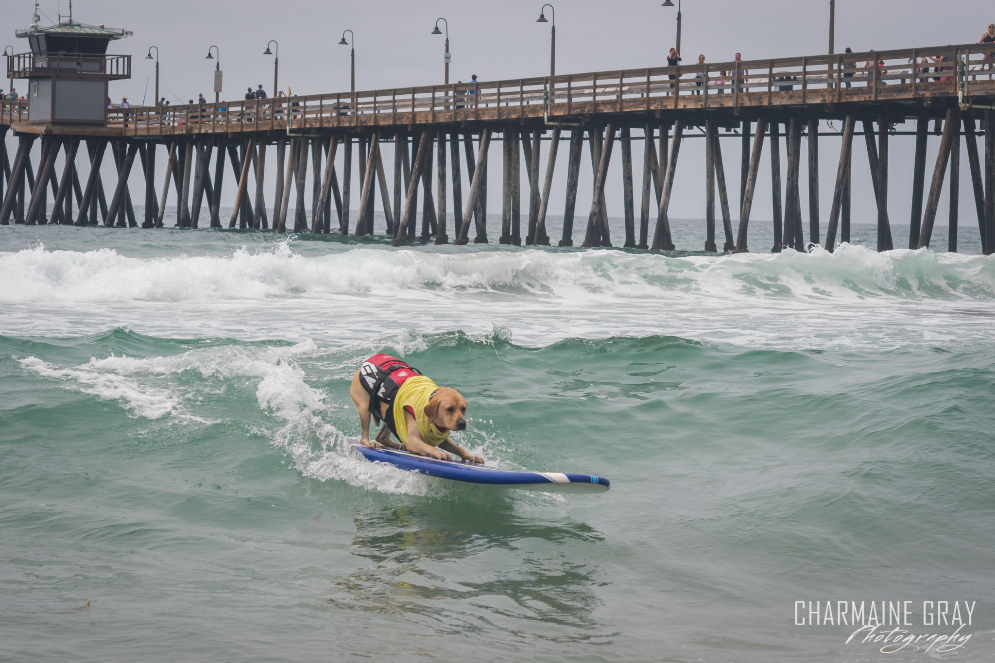 pet photographer, pet photography, pet portrait, pet, animal, charmaine gray photography, charmaine gray pet photography, san diego,dog,canine,california,surf,surfing,yellow lab, labrador retreiver, charie surfsup