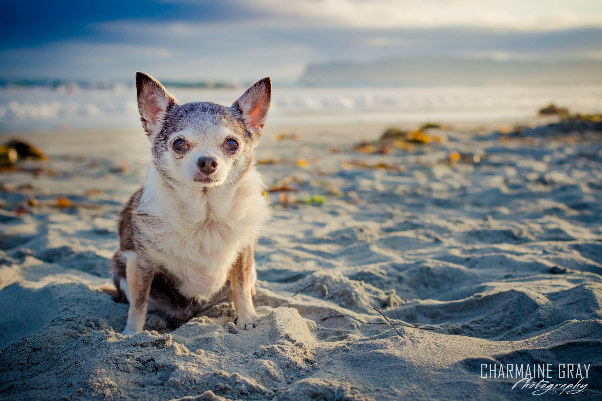 pet photographer, pet photography, pet portrait, pet, animal, charmaine gray photography, charmaine gray pet photography, san diego,chihuahua