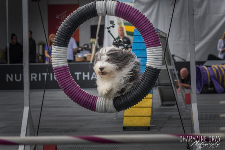 pet photographer, pet photography, pet portrait, pet, animal, charmaine gray photography, charmaine gray pet photography, san diego,dog,canine,california,dog agility, purina incredible dog challenge,bearded collie