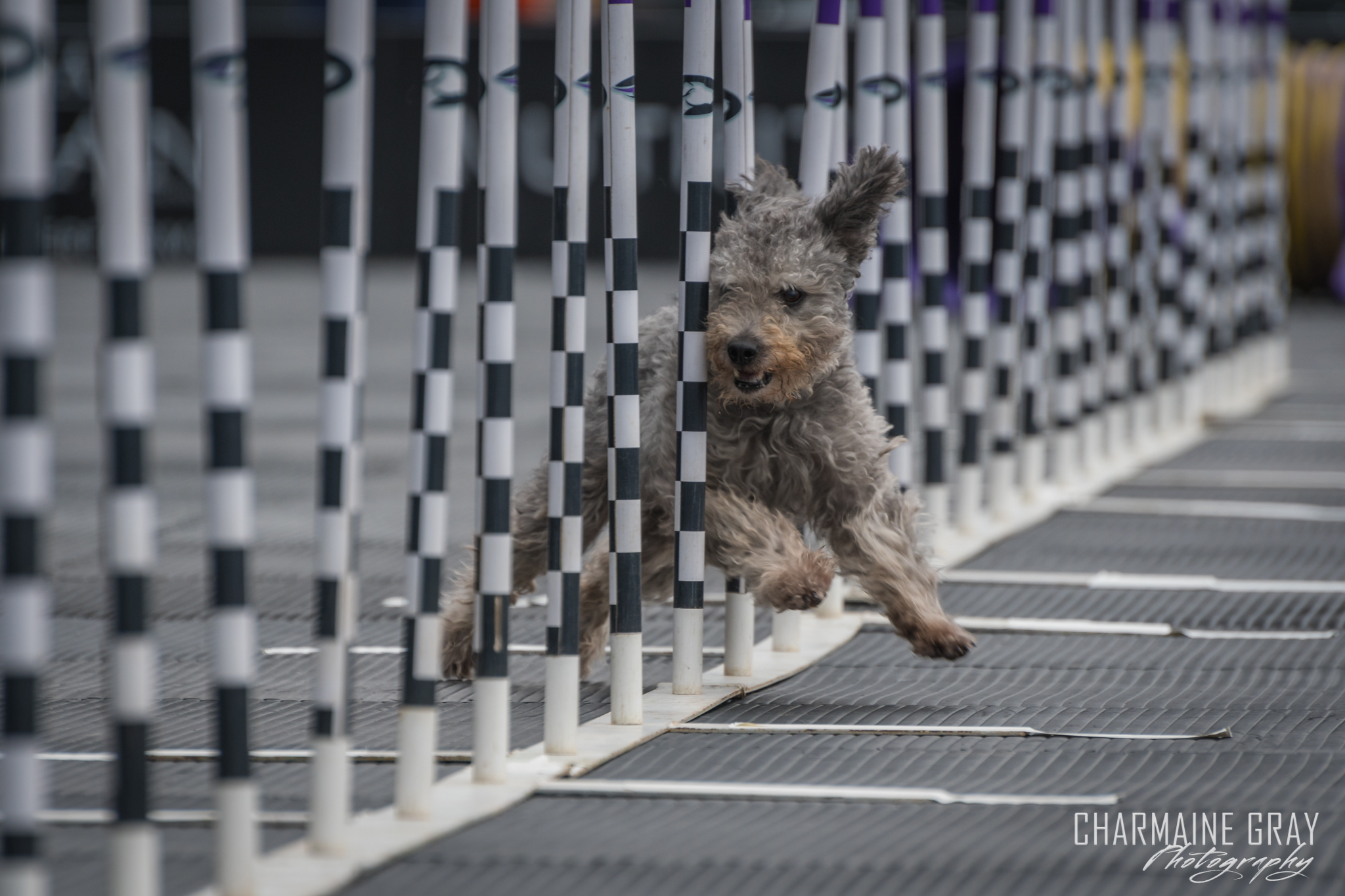 pet photographer, pet photography, pet portrait, pet, animal, charmaine gray photography, charmaine gray pet photography, san diego,dog,canine,california,dog agility
