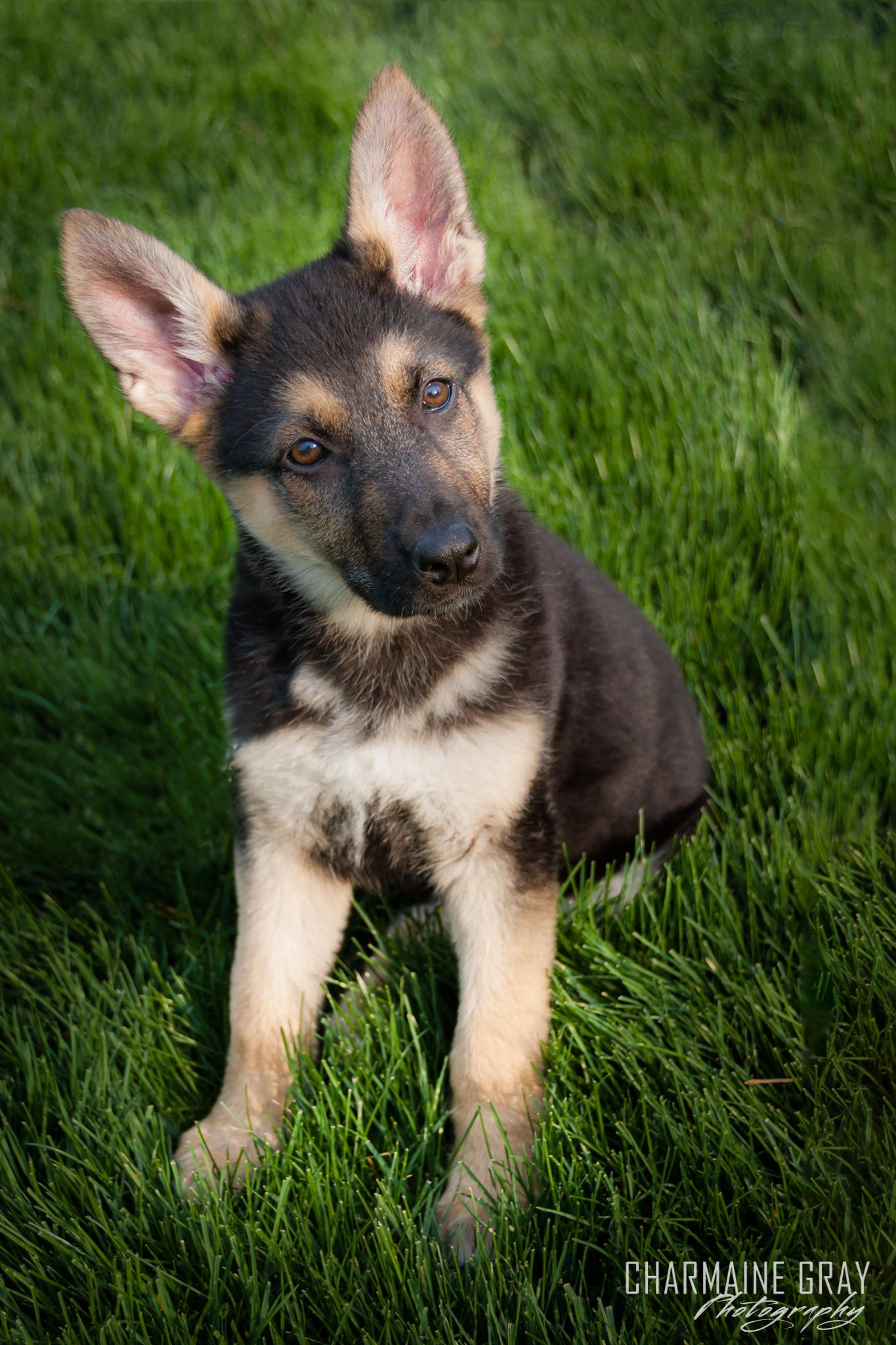 dog, pet photographer, pet photography, pet portrait, pet, animal, charmaine gray photography, charmaine gray pet photography, san diego,german shepherd,puppy