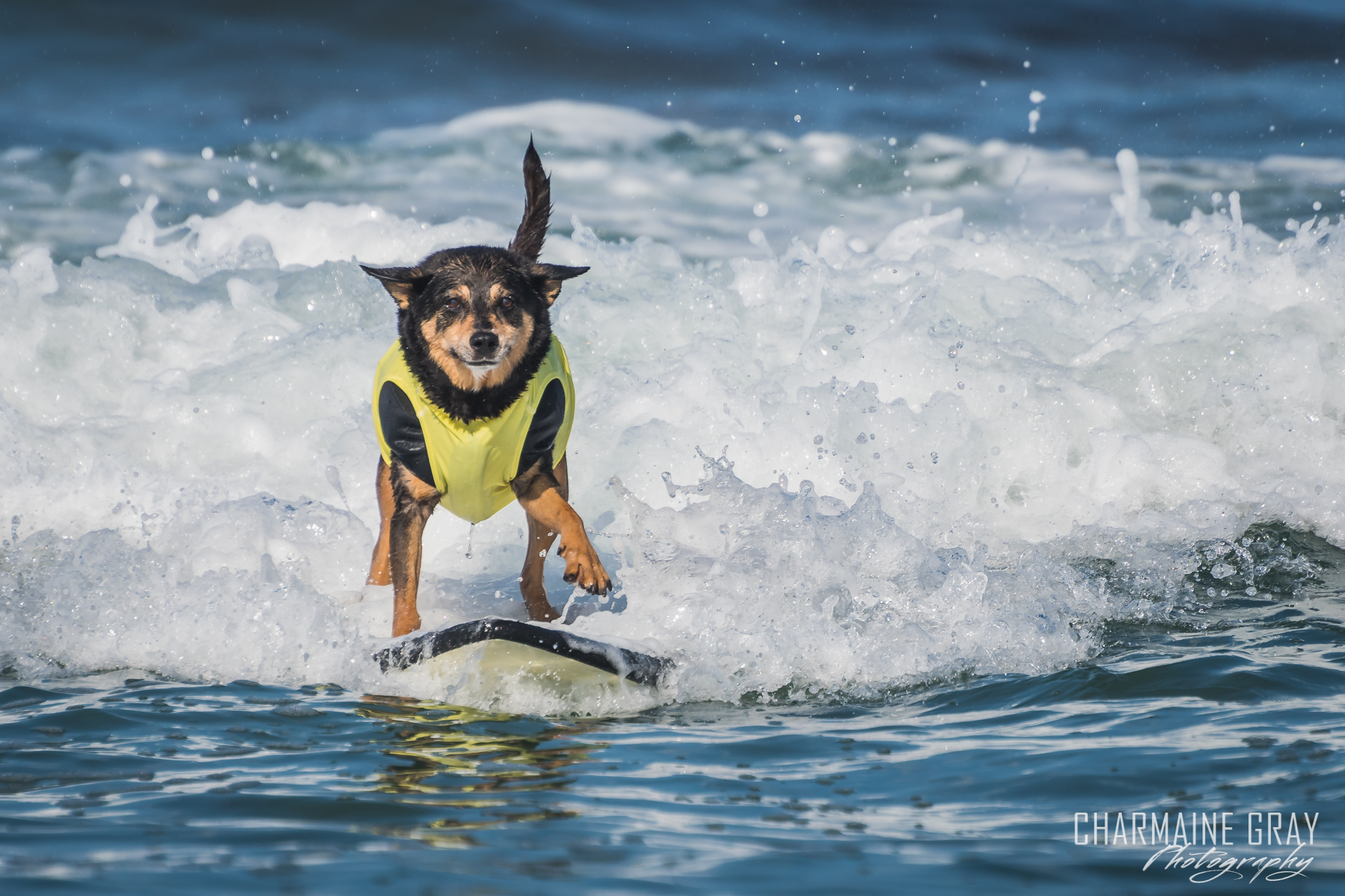 pet photographer, pet photography, pet portrait, pet, animal, charmaine gray photography, charmaine gray pet photography, san diego,dog,canine,california,surf,surfing,abbie surfs, australian kelpie