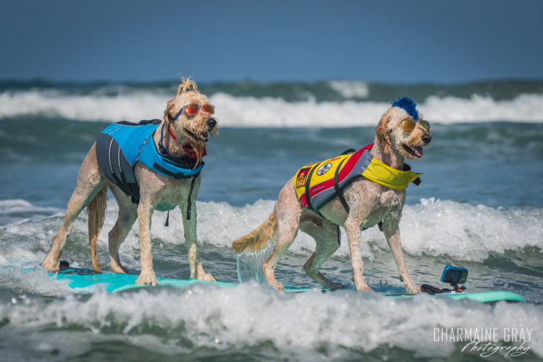 pet photographer, pet photography, pet portrait, pet, animal, charmaine gray photography, charmaine gray pet photography, san diego,dog,canine,california,surf,surfing,golden doodle, goldendoodle,teddy the surf dog, derby california