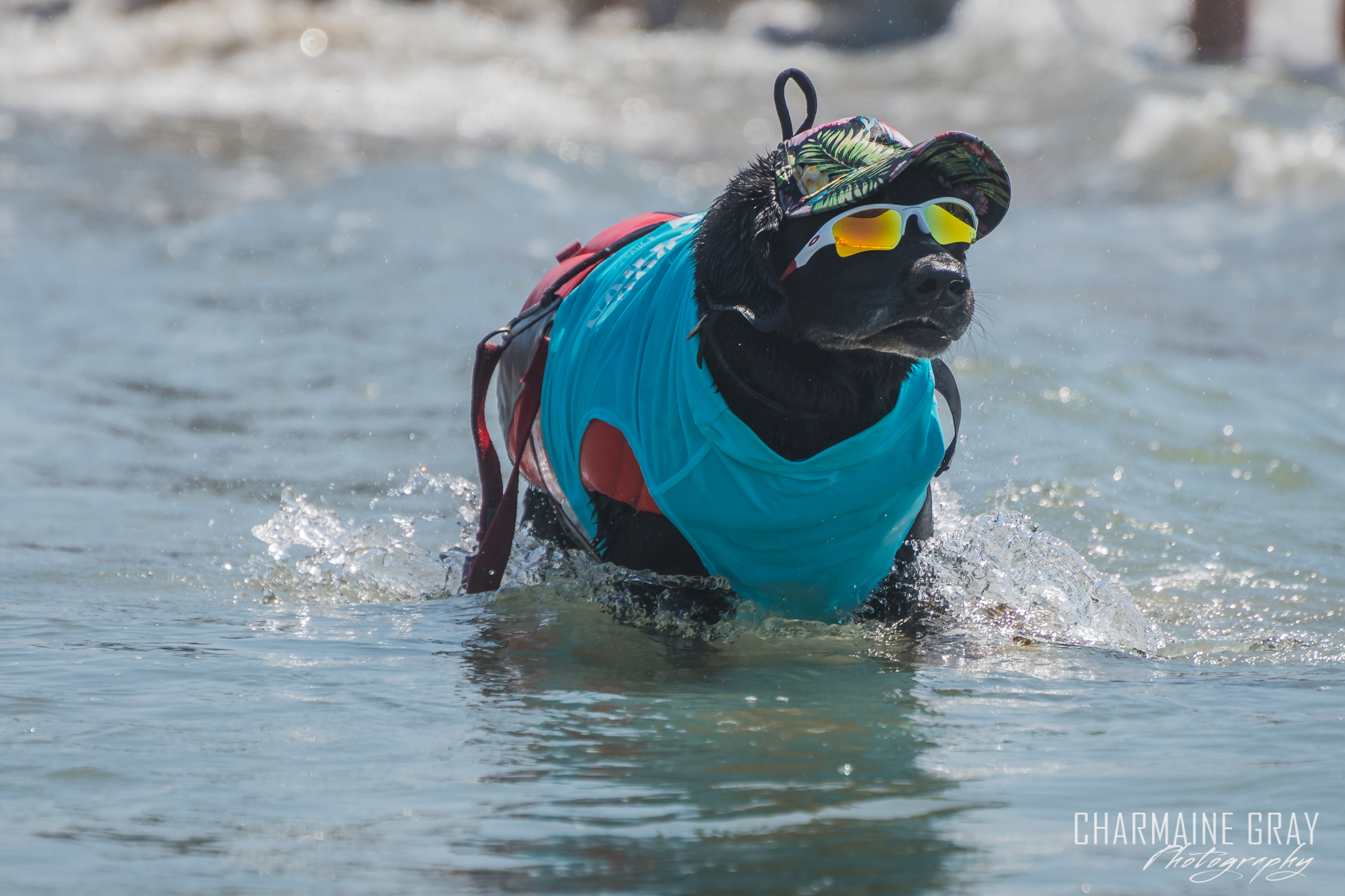 pet photographer, pet photography, pet portrait, pet, animal, charmaine gray photography, charmaine gray pet photography, san diego,dog,canine,california,surf,surfing, black lab, kole