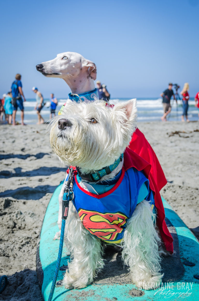 pet photographer, pet photography, pet portrait, pet, animal, charmaine gray photography, charmaine gray pet photography, san diego,dog,canine,california,surf,surfing,tristan, beans, westie, west highland terrier, whippet