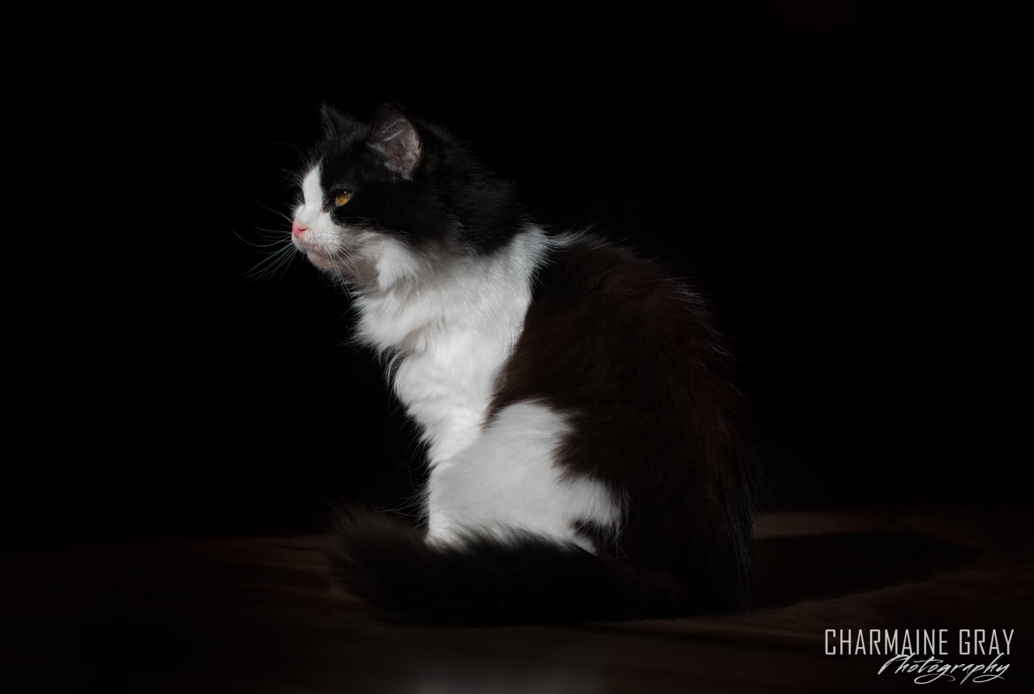 cat,pet photographer, pet photography, pet portrait, pet, animal, charmaine gray photography, charmaine gray pet photography, san diego