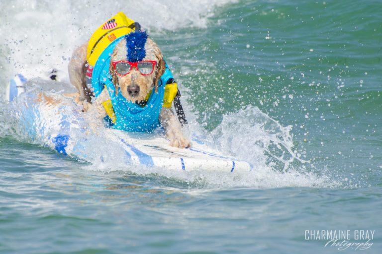 pet photographer, pet photography, pet portrait, pet, animal, charmaine gray photography, charmaine gray pet photography, san diego,dog,canine,california,surf,surfing,golden doodle, goldendoodle, derby california