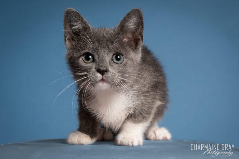 pet photographer, pet photography, pet portrait, pet, animal, charmaine gray photography, charmaine gray pet photography, san diego,cat