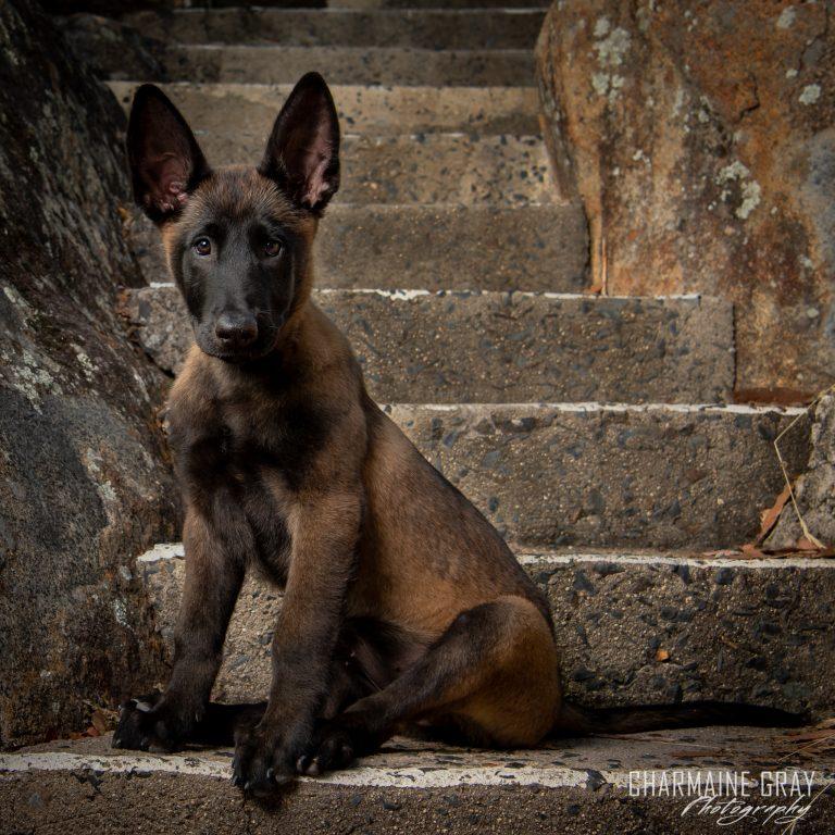 pet photographer, pet photography, pet portrait, pet, animal, charmaine gray photography, charmaine gray pet photography, san diego,belgian malinois,puppy