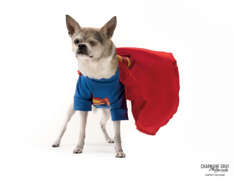 pet photographer, pet photography, pet portrait, pet, animal, charmaine gray photography, charmaine gray pet photography, san diego,chihuahua,superman